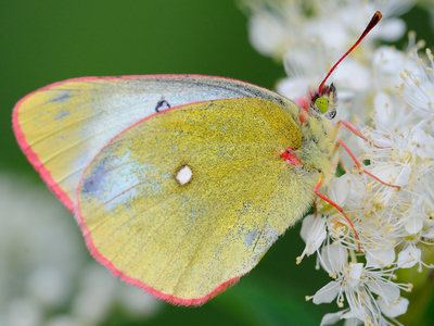 Colias palaeno (Moorland Clouded Yellow)