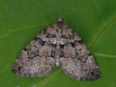 Thera cognata (Chestnut-coloured Carpet)