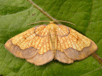 Epione vespertaria (Dark Bordered Beauty)