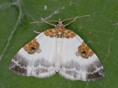 Plemyria rubiginata (Blue-bordered Carpet)