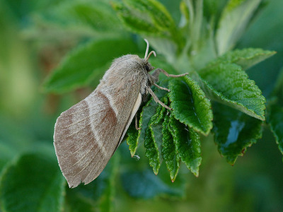 Macrothylacia rubi (Fox Moth)