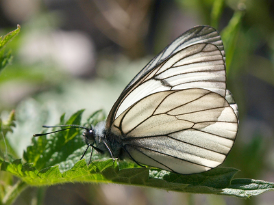 Aporia crataegi (Black-veined White)