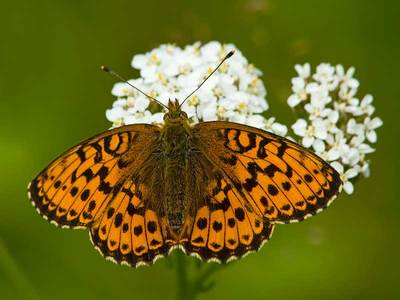 Brenthis ino (Lesser Marbled Fritillary)