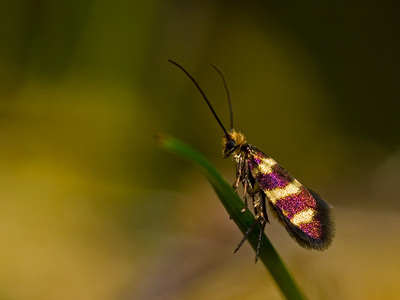 Micropterix aureatella (Yellow-barred Gold)