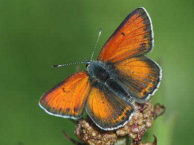 Lycaena hippothoe (Purple-edged Copper)