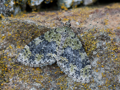 Acasis viretata (Yellow-barred Brindle)