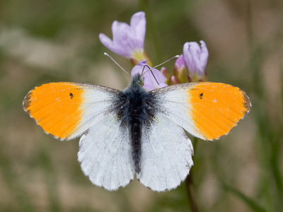 Anthocharis cardamines (Orange Tip)