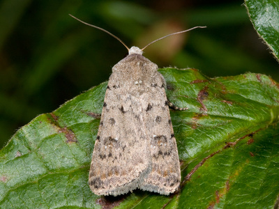 Caradrina clavipalpis (Pale Mottled Willow)