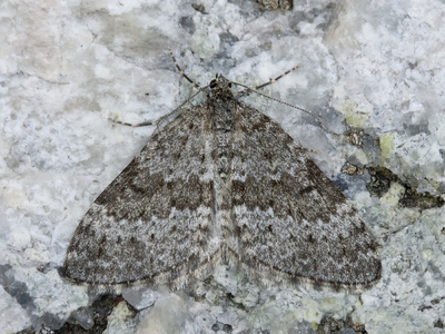 Entephria caesiata (Grey Mountain Carpet)
