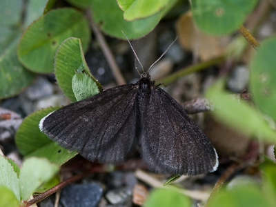 Odezia atrata (Chimney Sweeper)