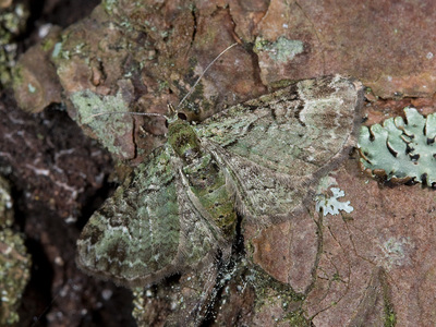 Pasiphila rectangulata (Green Pug)