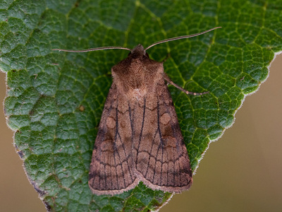 Xestia sexstrigata (Six-striped Rustic)