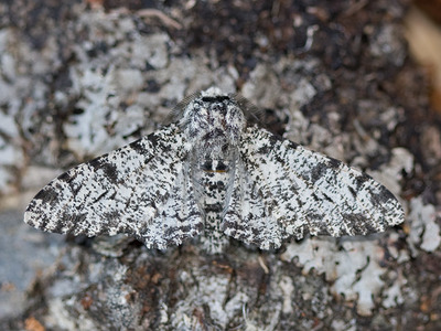 Biston betularia (Peppered Moth)