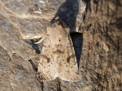 Orthosia incerta (Variabelt seljefly)