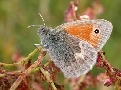 Coenonympha pamphilus (Small Heath)