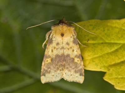 Xanthia togata (Pink-barred Sallow)