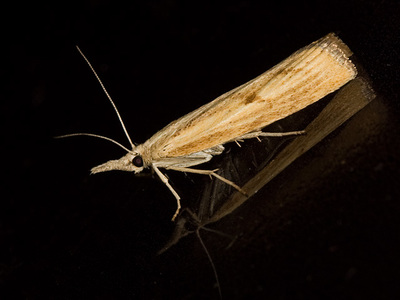 Agriphila inquinatella (Barred Grass-veneer)