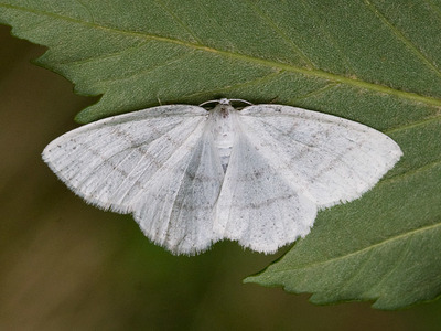 Cabera pusaria (Common White Wave)