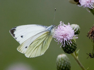 Pieris napi (Green-veined White)