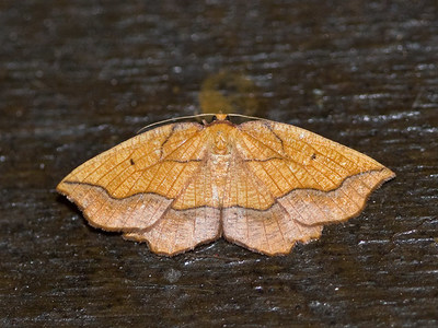Epione repandaria (Bordered Beauty)