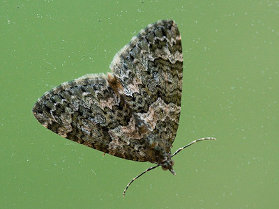Chloroclysta miata (Autumn Green Carpet)