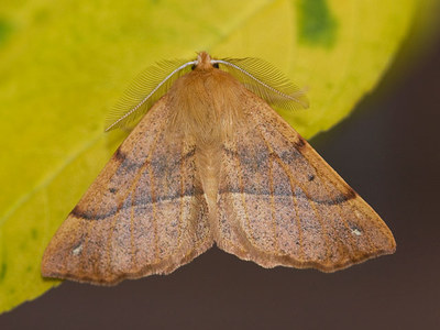 Colotois pennaria (Feathered Thorn)