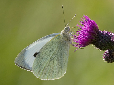 Pieris brassicae (Large White)
