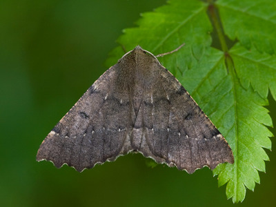 Odontopera bidentata (Scalloped Hazel)