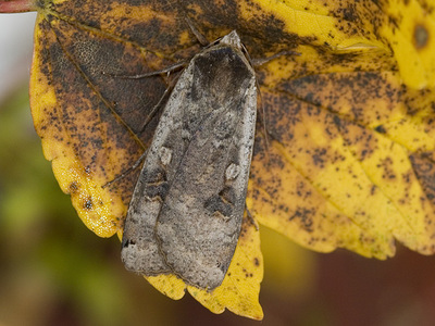 Noctua pronuba (Large Yellow Underwing)