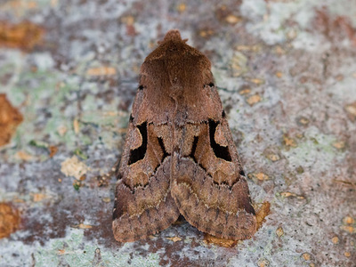 Orthosia gothica (Hebrew Character)