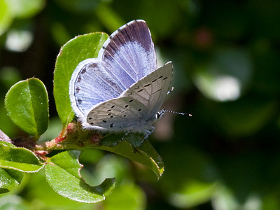 Celastrina argiolus (Holly Blue)