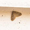 Winter Moth (brumata)