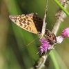 Silver-Washed Fritillary (paphia)