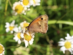 Meadow Brown (jurtina)