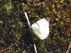 Green-veined White (napi)