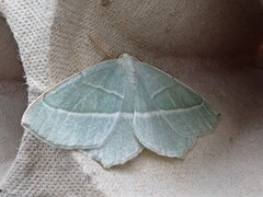 Light Emerald (margaritaria)