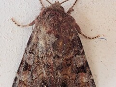 Broom Moth (pisi)
