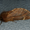 Plumed Prominent (plumigera)