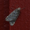 March Moth (aescularia)