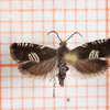 Triple-stripe Piercer (compositella)