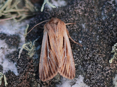 Leucania comma (Shoulder-striped Wainscot)