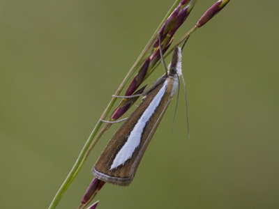 Catoptria margaritella (Pearl-band Grass Veneer)