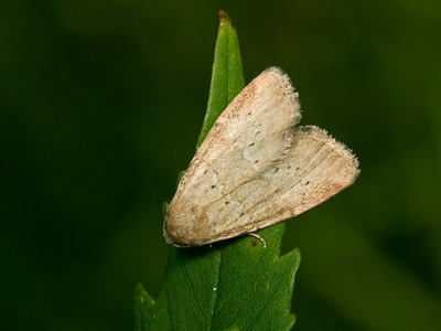 Photedes minima (Small Dotted Buff)