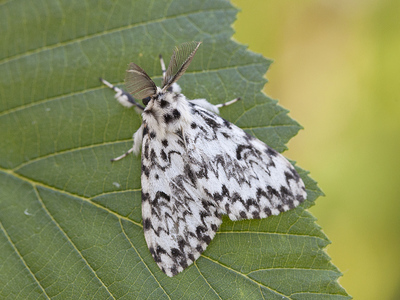 Lymantria monacha (Black Arches)