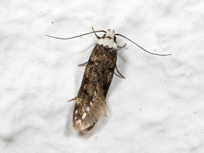 Endrosis sarcitrella (White-shouldered House Moth)