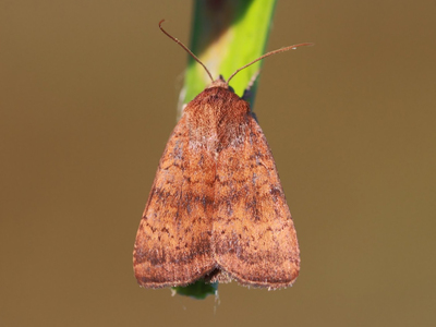 Noctua interjecta (Least Yellow Underwing)