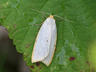 Cybosia mesomella (Four-dotted Footman)
